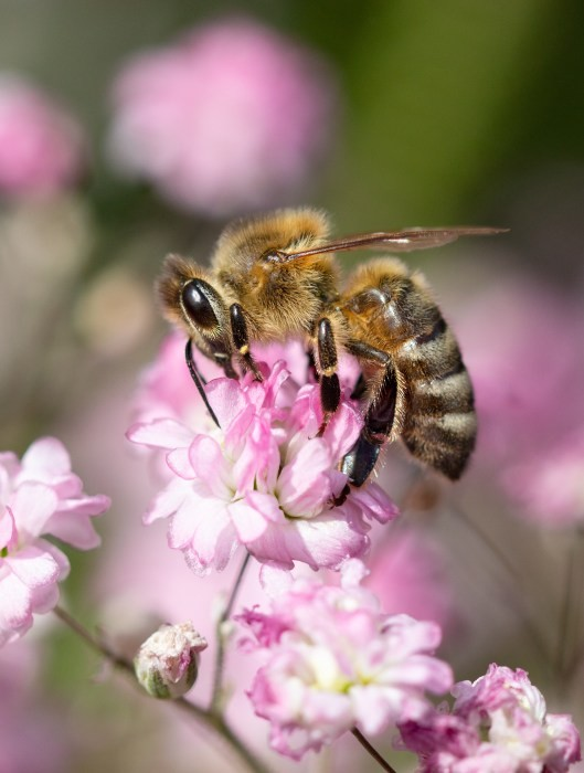 N2101919-Biene-auf-Gypsophilablueten